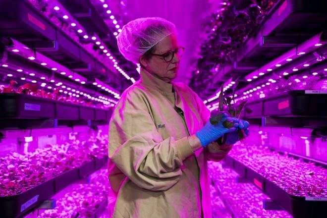 Produtora Julie Flickner inspeciona folhas de couve na 80 Acres Farm, em Cincinnati, no dia 15 de outubro de 2018   Maddie McGarvey/For The Washington Post