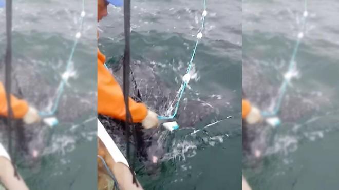 Pescador corta rede para liberar tartaruga-de-couro em Matinhos.   Reprodução/Vídeo