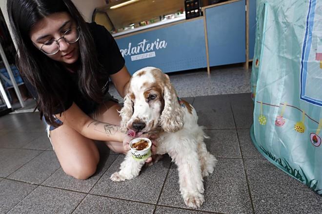 A cocker Estrela virou cachorra-propaganda dos sorvetes caninos | Albari Rosa/Gazeta do Povo