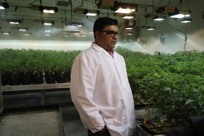 Jigar Patel, presidente da Norcal Cannabis Company, em uma sala de crescimento nas instalações de Santa Rosa, Califórnia | JIM WILSON/NYT