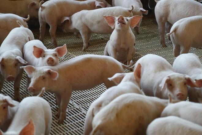 Febre suína africana  já obrigou sacrifício de quase 1 milhão de animais na China, desde agosto do ano passado | Jonathan Campos/Gazeta do Povo