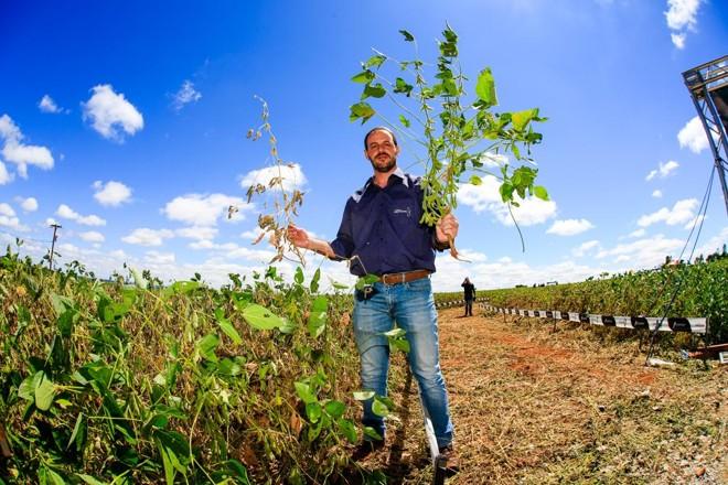 Rodrigo Namur, da Castrolanda, mostra  plantas de soja que responderam de forma desigual ao estresse hídrico | Michel Willian/Gazeta do Povo