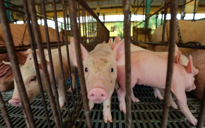 Produtores de animais, como os suínos, são os mais beneficiados pelo programa | Felipe Rosa/Tribuna do Paraná