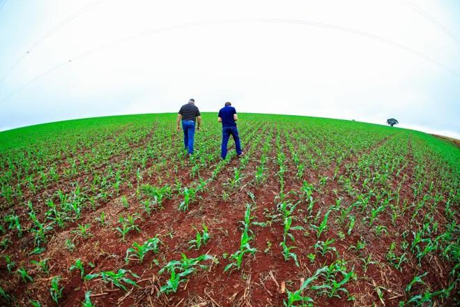 No início desta semana, produtores rurais verificam condição de lavoura de milho safrinha em Arapongas (PR) | Michel Willian/Gazeta do Povo