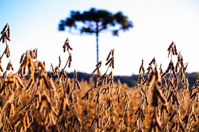 Lavoura de soja na região de Toledo: produtores do Oeste tiveram até 40% de perdas na lavoura por causa da seca. | Michel Willian/Gazeta do Povo