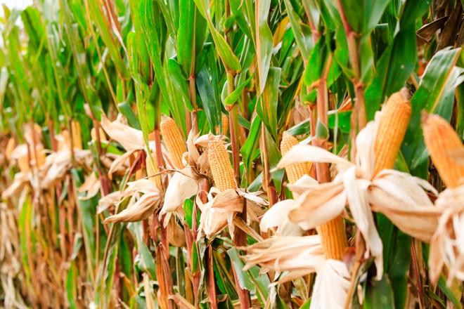 O milho em Santa Catarina deve registrar neste ano um aumento de 8% na área plantada. | Michel Willian/Gazeta do Povo