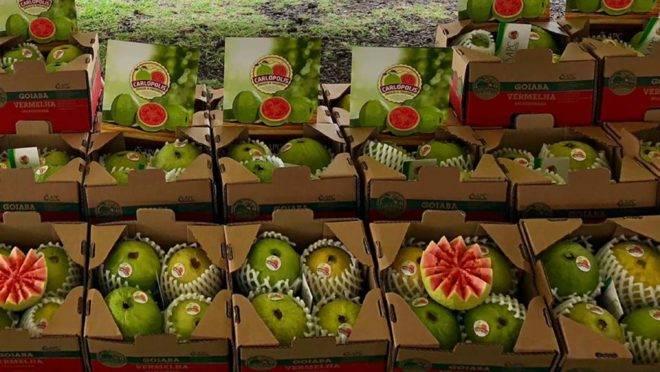 Associação de Fruticultores e Olericultores de Carlópolis apresenta goiabas produzidas no município. Divulgação APC