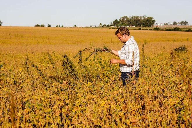Engenheiro-agrônomo Axel Fabris inspeciona ervas daninhas em plantação de soja | Michel Willian