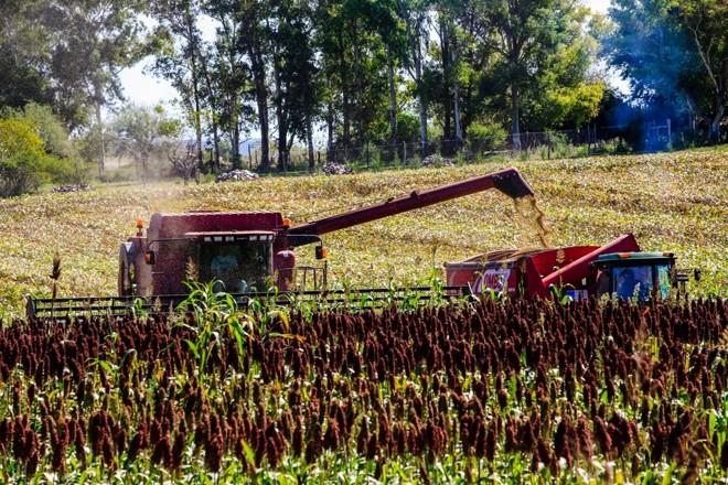 Colhedeira avança sobre área de sorgo no Uruguai: alimento para o gado | Michel Willian