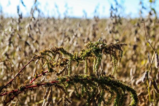 Amaranto em meio a plantação de soja: cada planta lança milhares de sementes ao solo | Michel Willian
