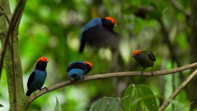 Tangará-dançarino, ave típica a Mata Atlântica, ganha destaque em série mundial da Netflix sobre a natureza. Foto: Silverback/Netflix