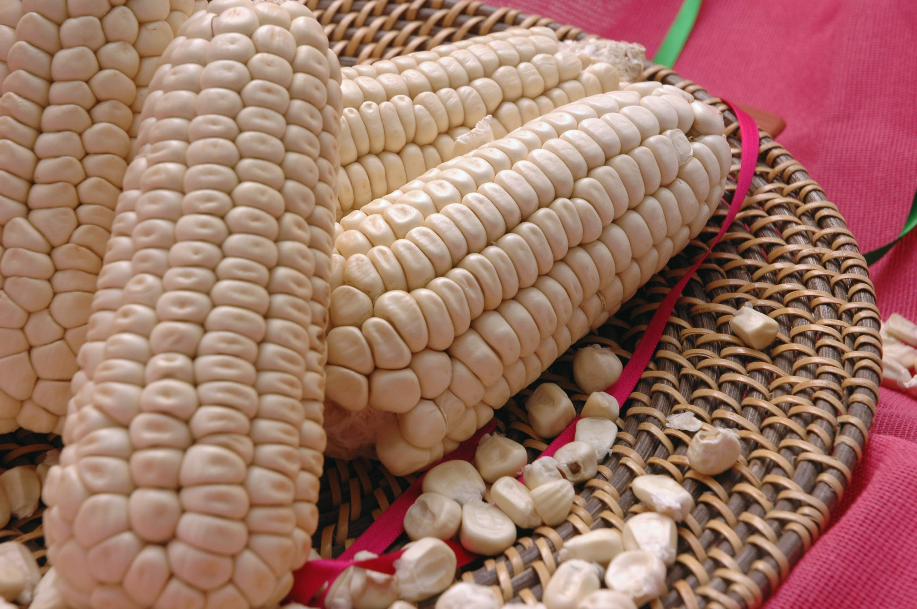 """Variedade """"cacahuacintle"""" de milho branco."""