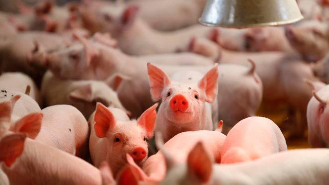 A promessa de ganhos para os suinocultores americanos parece improvável agora, diante da sobretaxação chinesa para o setor. A mais recente escalada de tarifas significa que a carne suína americana não será economicamente competitiva na China.