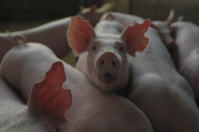 China tem o maior rebanho de suínos do mundo. | Jonathan Campos/Gazeta do Povo