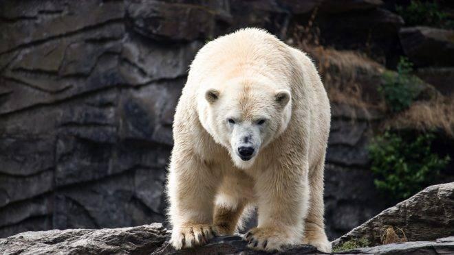 Símbolos da ameaça representada pelo aquecimento global, os ursos polares nunca foram tão numerosos.