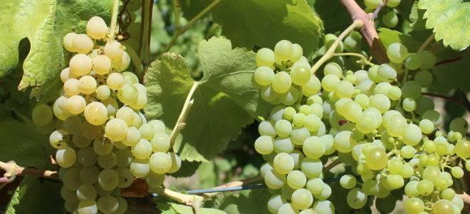 A uva branca Fiano foi plantada recentemente pela Vinícola Legado e originou o vinho Sfizio Fiano All'antica 2018. (Fotos/ Divulgação)