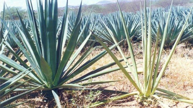 Plantação de sisal.