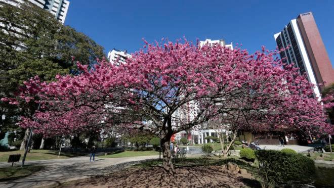 Cerejeiras floridas na Praça do Japão
