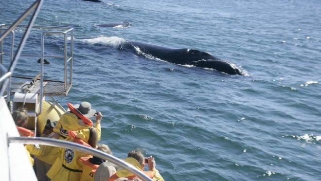 Os passeios de barco para ver as baleias da região custam a partir de R$ 80 e duram 1h30. Foto: Divulgação