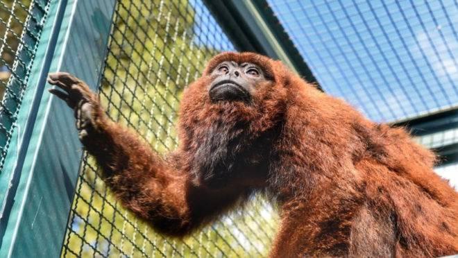 macaco são josé dos pinhais