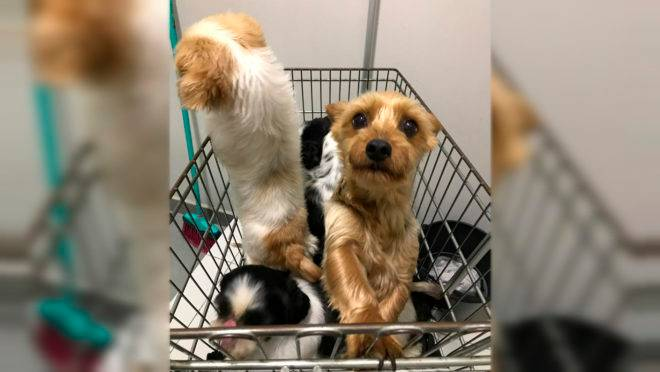 Cachorro dentro de um carrinho de supermercado
