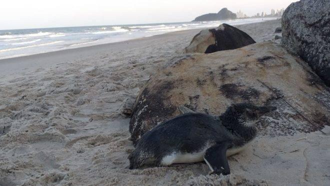 Pinguim na areia no Litoral do Paraná