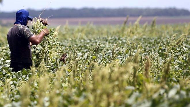 Colheita de soja na região de Campo Novo do Parecis, no Mato Grosso. Lavoura infestada pela buva, planta daninha resistente ao glifosato.