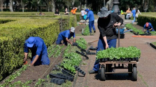 Mudas de petúnias estão sendo plantadas no Jardim Botânico para o Outubro Rosa.