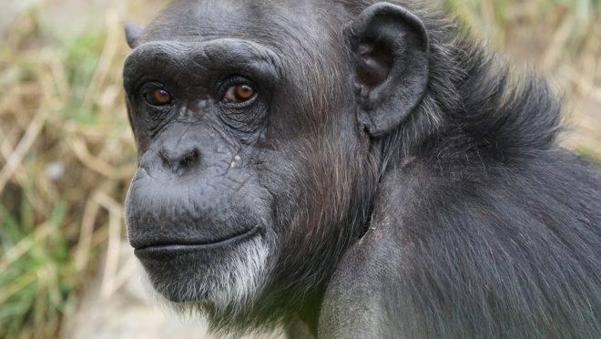 """Comparando o sofrimento dos animais ao Holocausto, manifesto quer que primatas sejam considerados """"pessoas"""" dignas de direitos humanos."""