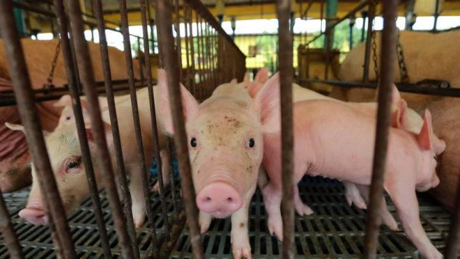 A indústria sul-coreana conta com cerca de 6 mil fazendas, que abrigam 11 milhões de porcos