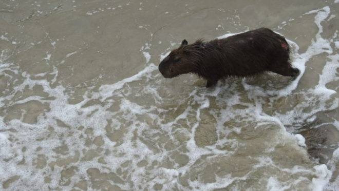 Capivara muito machucada apareceu na praia em Guaratuba.