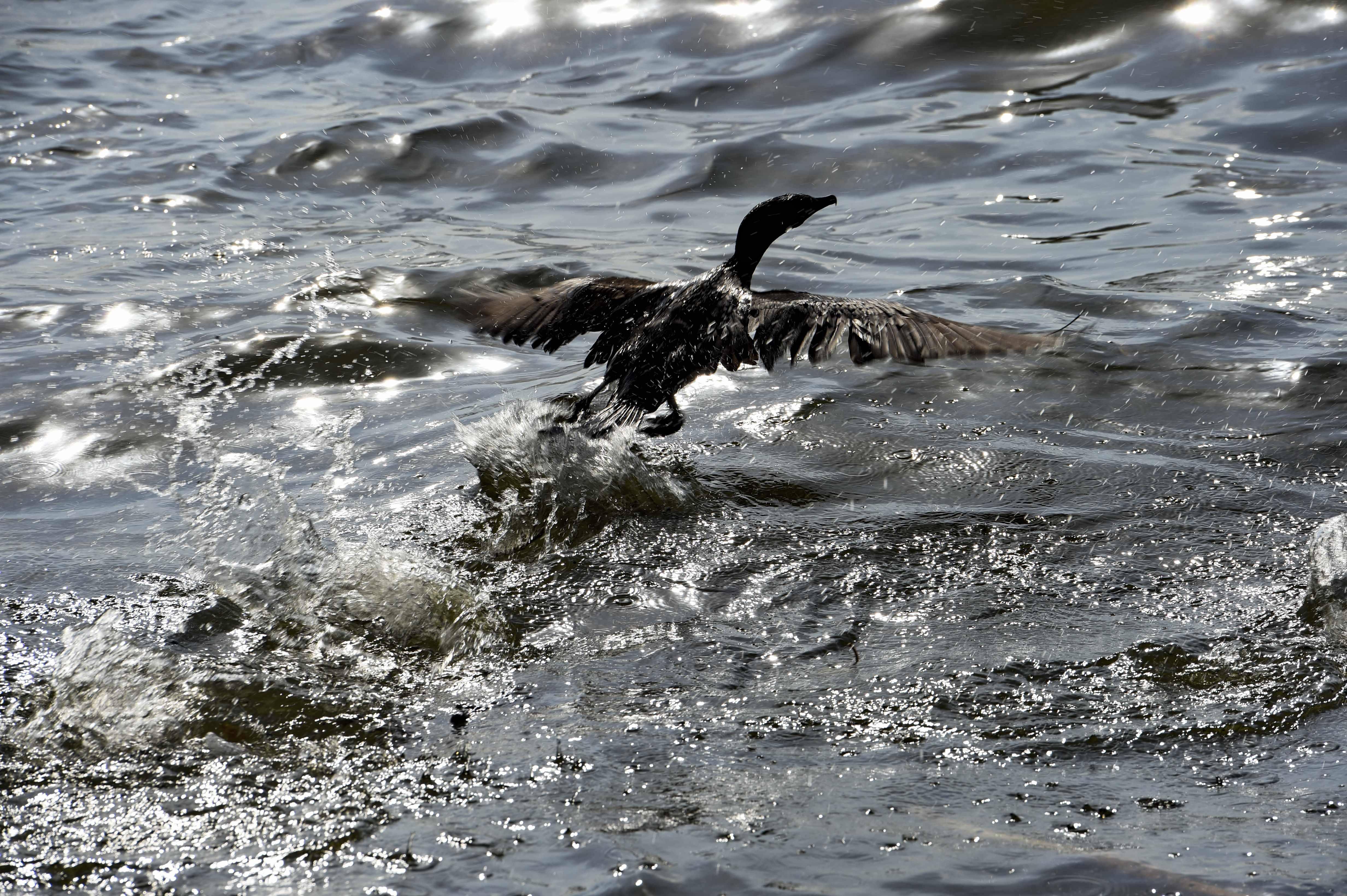 No Lago Maracaibo, ave coberta por petróleo tenta voar, mas não consegue.