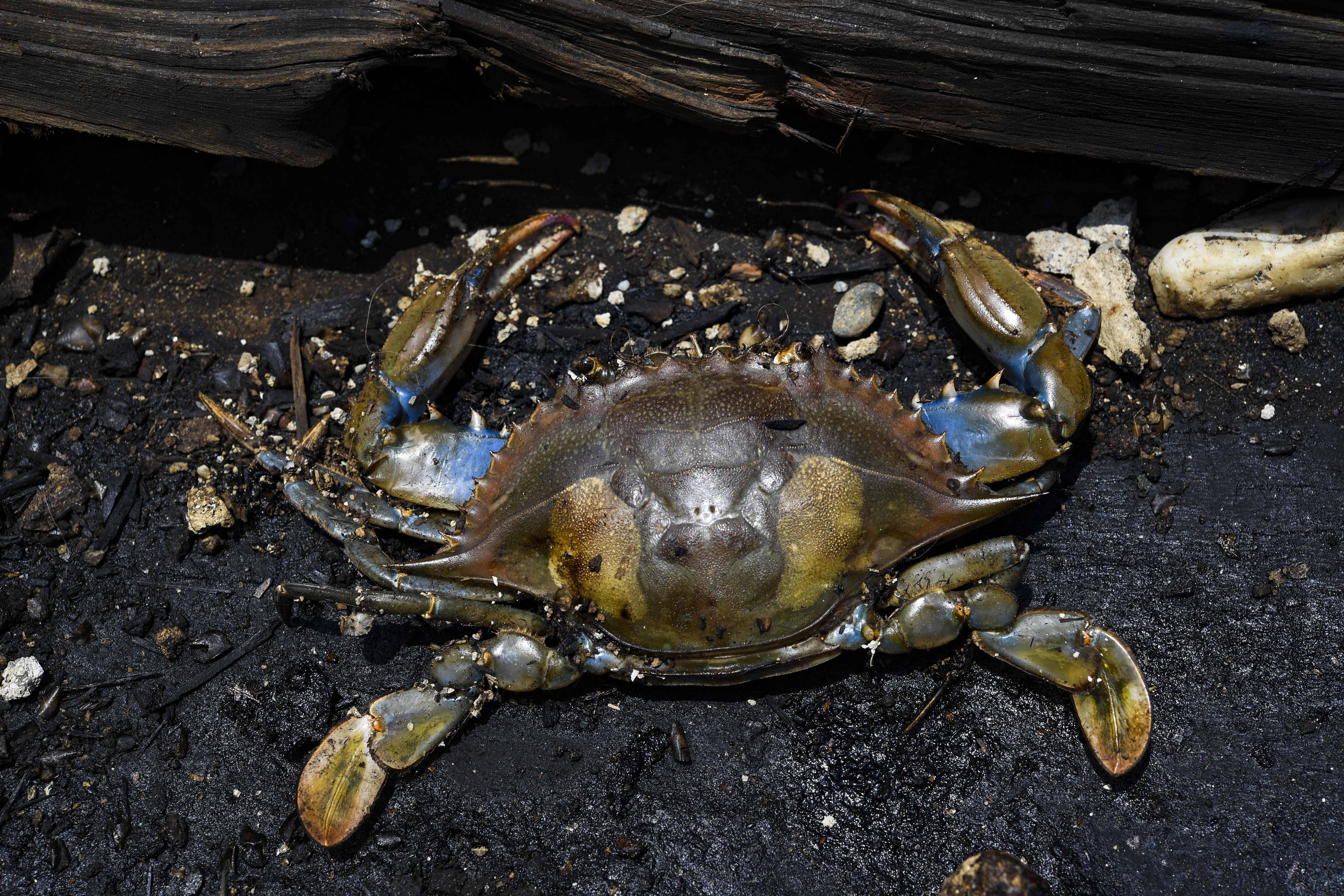 Caranguejo contaminado nas margens do poluído lago Maracaibo | Foto: YURI CORTEZ/AFP