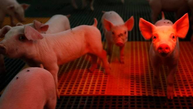 Peste suína africana leva mais de 7 milhões de animais ao abate sanitário na Ásia