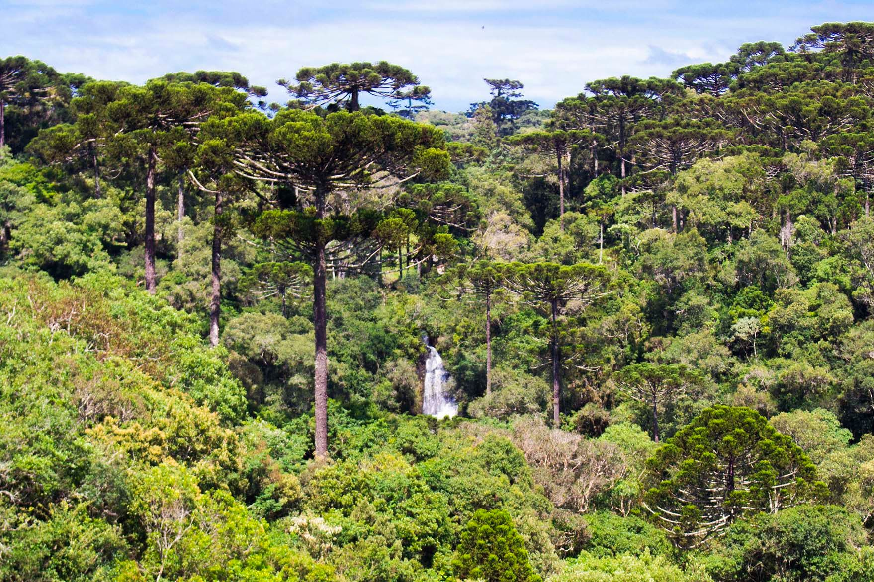 Caminho dos Pinheirais, em Turvo. Foto: Gralha Azul Turismo e Aventura/Divulgação