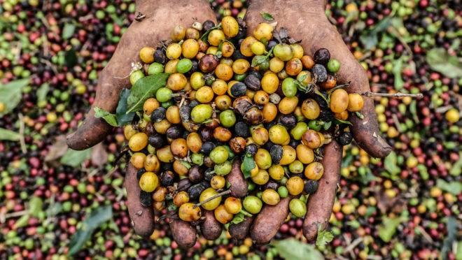 Na região do Parque Nacional do Caparaó, no Espírito Santo, são produzidos alguns dos melhores cafés do Brasil.