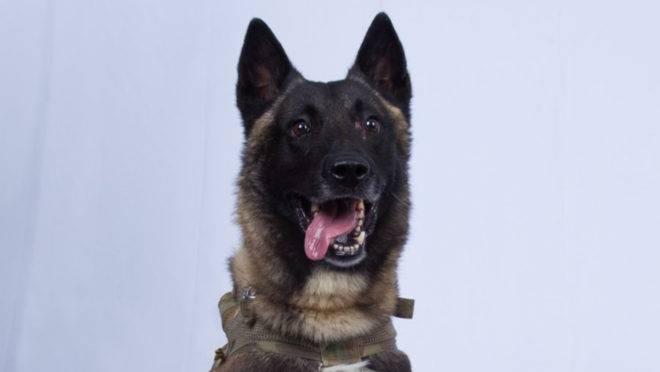 Foto publicada pelo presidente americano Donald Trump do cão que participou da ação militar que terminou com a morte do líder do Estado Islâmico