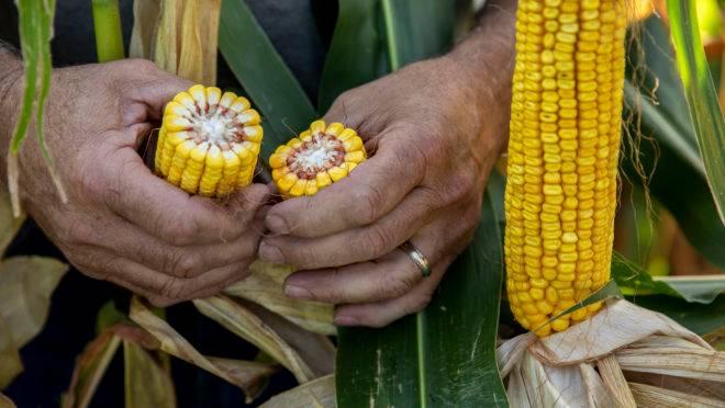 Produção de milho nos Estados Unidos
