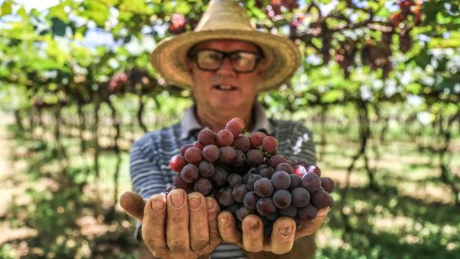 Natal Perozzo é o único produtor de uvas niágara de plantio comercial na região de Formosa (GO). Ele conseguiu obter altas produtividades a partir de enxertos entre variedades diferentes.