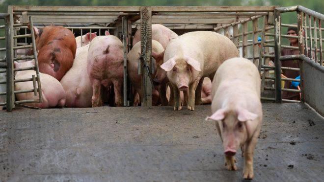 Foram autorizados 5 frigoríficos produtores de carne suína, 5 de carne bovina e 3 de aves
