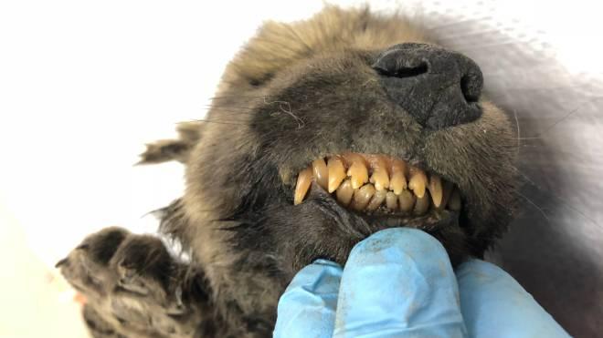 Dogor, um filhote canino de dois meses que viveu há 18 mil anos, foi encontrado na Sibéria