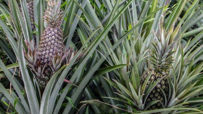 Graças às condições do solo, temperatura e umidade, o Amazonas produz o abacaxi mais doce do mundo