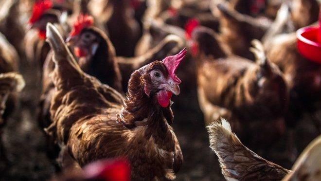 Criadas em sistema semi-confinado, as galinhas poedeiras dos produtores Luciano e Eriana, de Manaus, não ficam presas em gaiolas. Por isso, produzem mais
