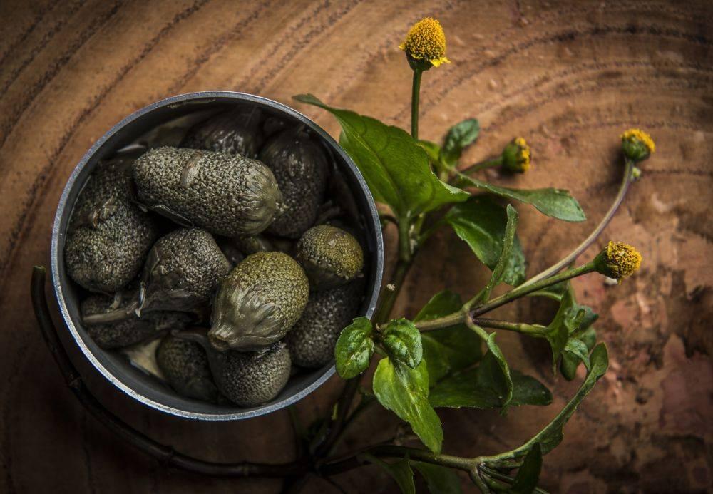 As folhas e o caule do jambu normalmente são usados na culinária, enquanto as flores servem ao preparo da cachaça. Foto: Leticia Akemi/Gazeta do Povo