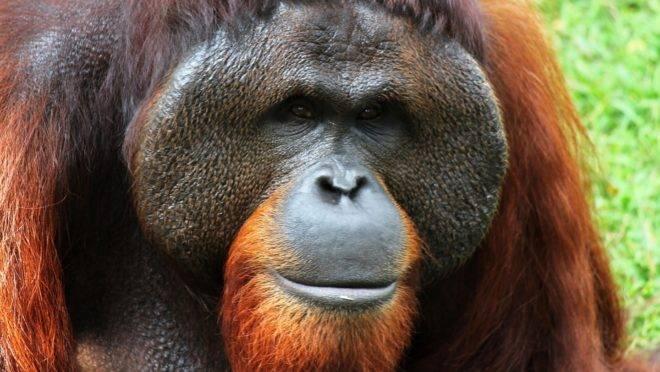 """São várias as ações que tentam conferir direitos humanos a animais. Na Argentina, uma orangotango foi considerada """"mulher"""" para ser tirada de um zoológico."""