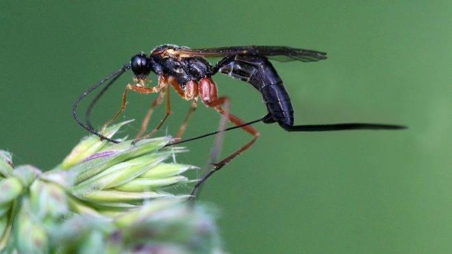 Vespa do gênero Ichneumonidae
