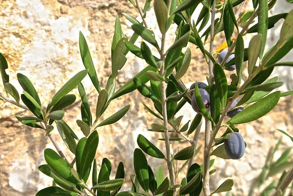 A legislação aponta que azeites extravirgem, por exemplo, podem ser elaborados apenas com azeitonas, sem outros óleos vegetais. Foto: Unsplash