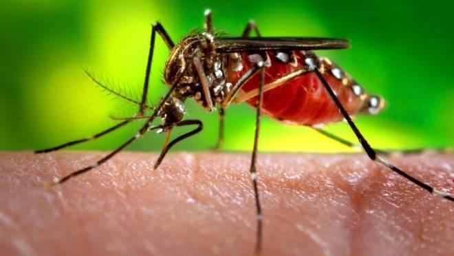 O Aedes Aegypti, mosquito transmissor da dengue, zika e chikungunya.