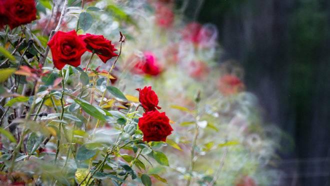 Antonio e Aparecida começaram a produção com 2500 pés de rosa. Atualmente cultivam 38 mil pés e comercializam 2800 dúzias por mês.