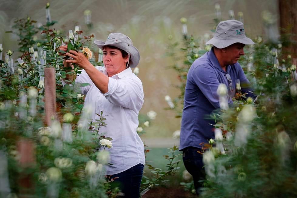 Família que trocou avicultura por produção de flores consegue equiparar o lucro.